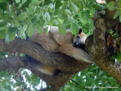 Sleeping anteater. Or is it something else? I wish I'd written these things down!