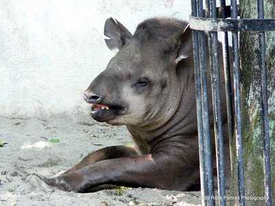The tapir thought it was hilarious. Loud guffaws came from this corner.