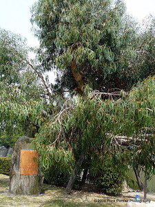 The Eucalyptus tree that withstood the A-Bomb