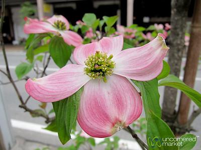 Pink Dogwood Flowers - Takayama, Japan