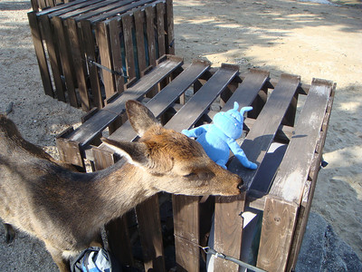A deer trying to chew on Skull at Miyajima, Japan
