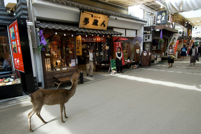 Deer walking around the shopping district in Miyajima, Japan