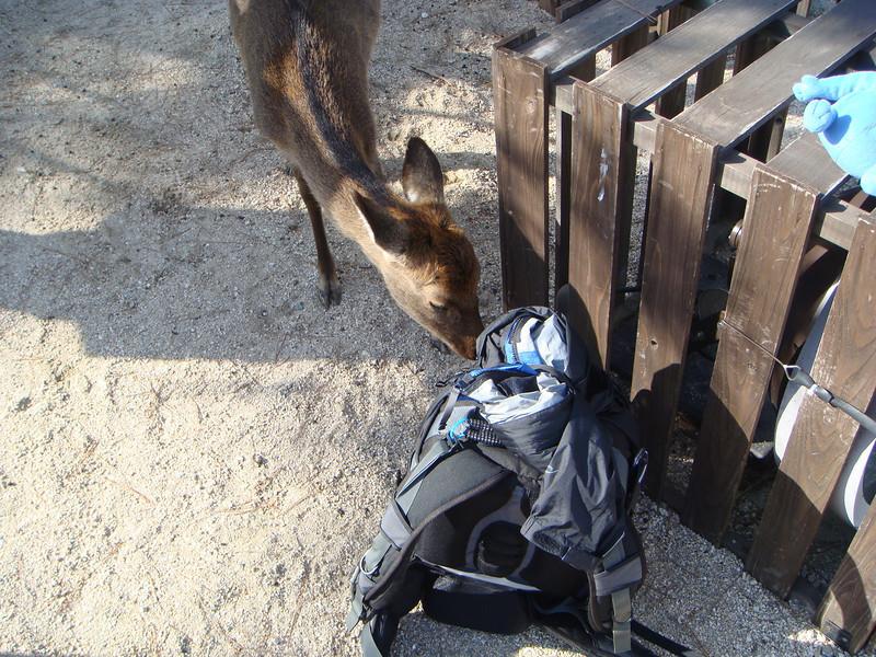 Deer sniffing on the camera bag – Miyajima, Japan