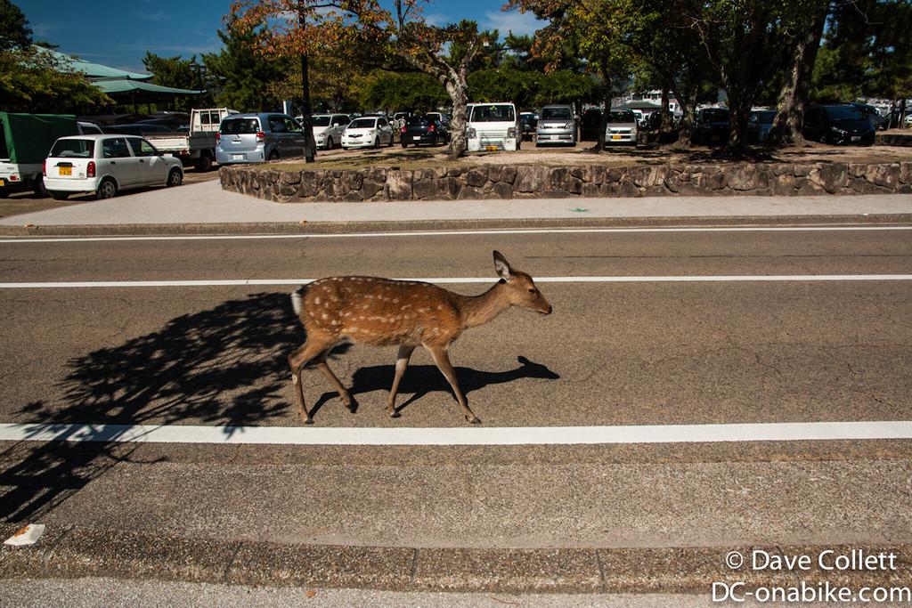 Casual deer walking down the street