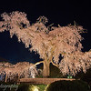 "Weeping cherry tree at <a target=""NEWWIN"" href=""http://en.wikipedia.org/wiki/Maruyama_Park"">Maruyama Park</a>, Kyoto, Japan"