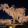 "Weeping cherry tree at <a target=""NEWWIN"" href=""http://en.wikipedia.org/wiki/Maruyama_Park"">Maruyama Park</a>, Kyoto, Japan"