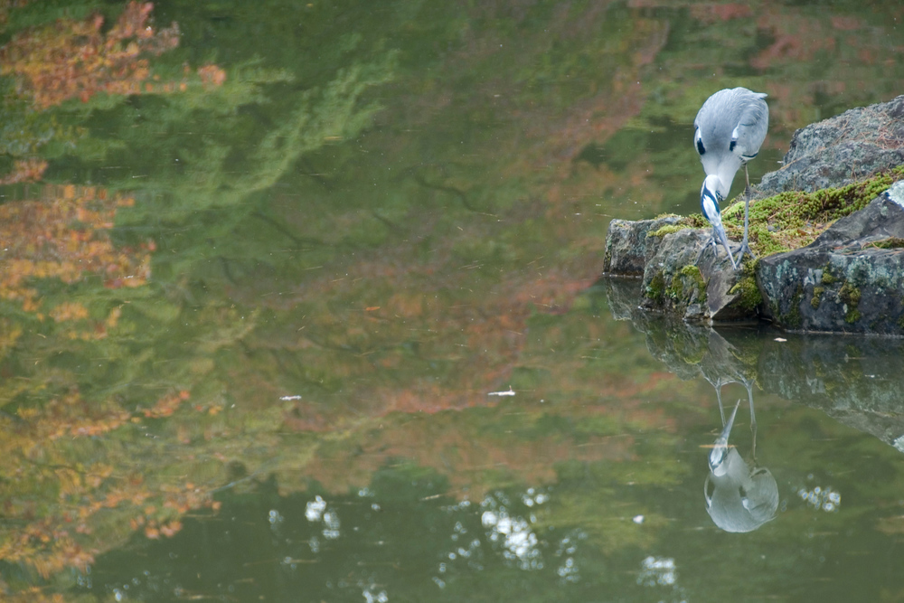 Bird with reflection in water, Kyoto, Japan