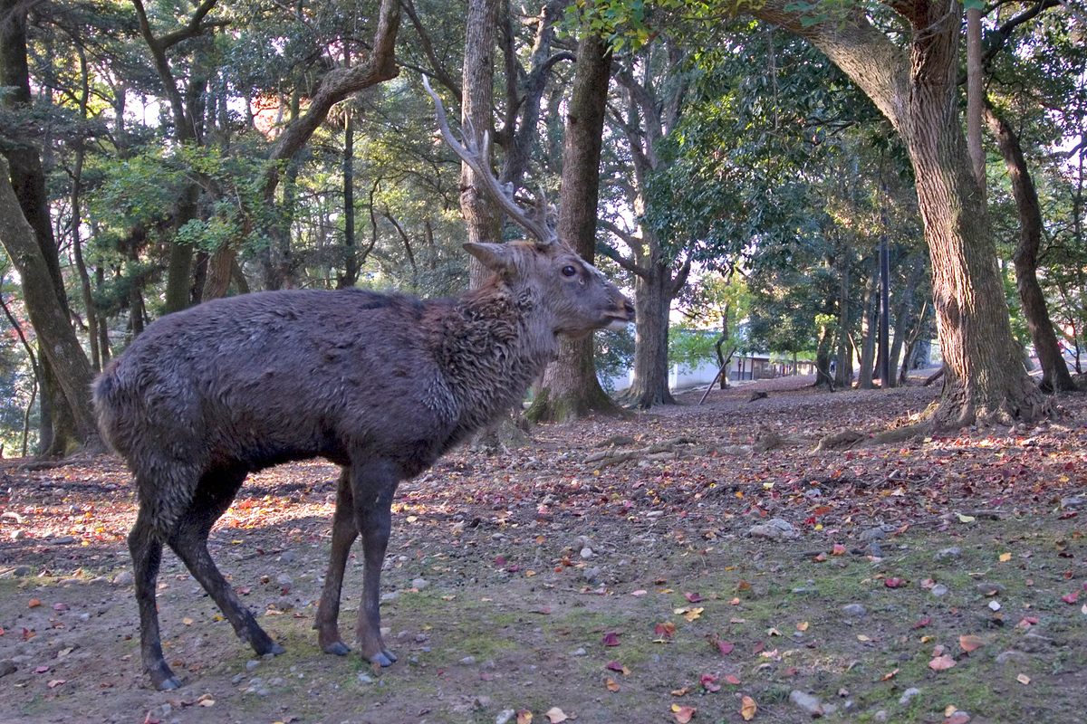 Small red deer, Nara, Japan