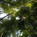 Bamboo Grove at the Hokokuji Temple – Kamakura, Japan – Photo