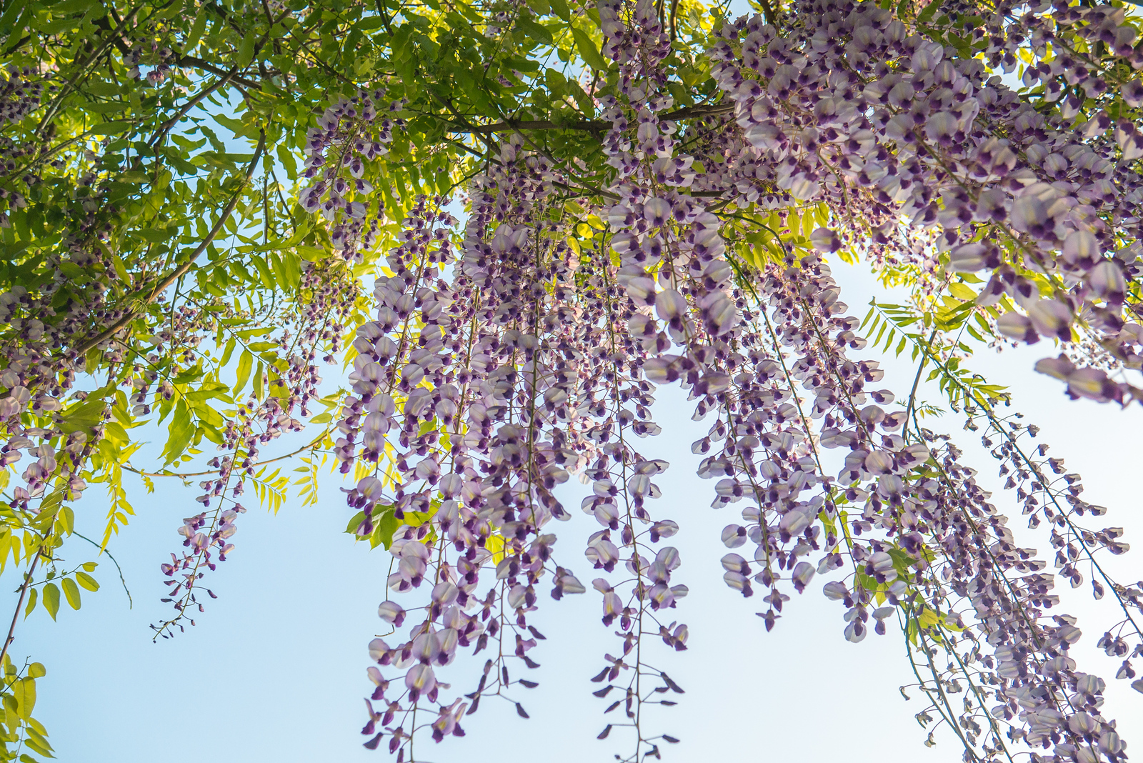 wisteria at Tsurugaoka Hachimangū shinto shrine