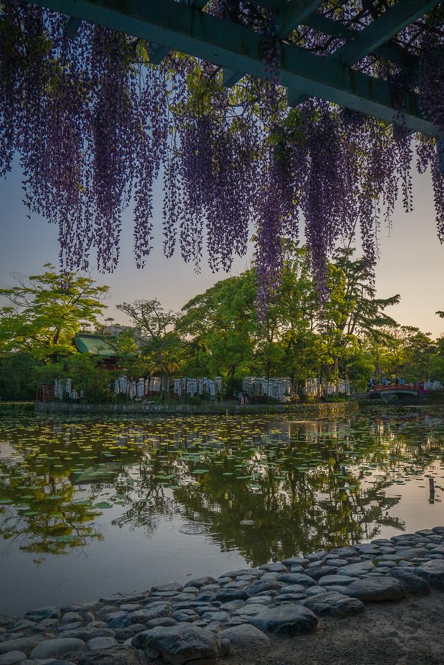 Gorgeous wisteria in bloom in Kamakura, Japan in the spring.