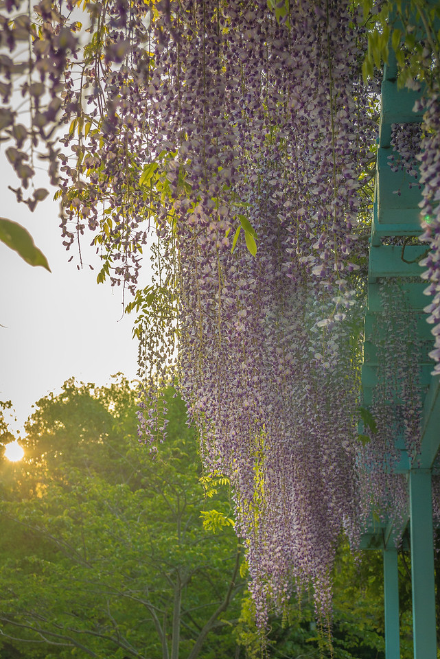 Gorgeous wisteria in bloom in Kamakura, Japan in the spring.