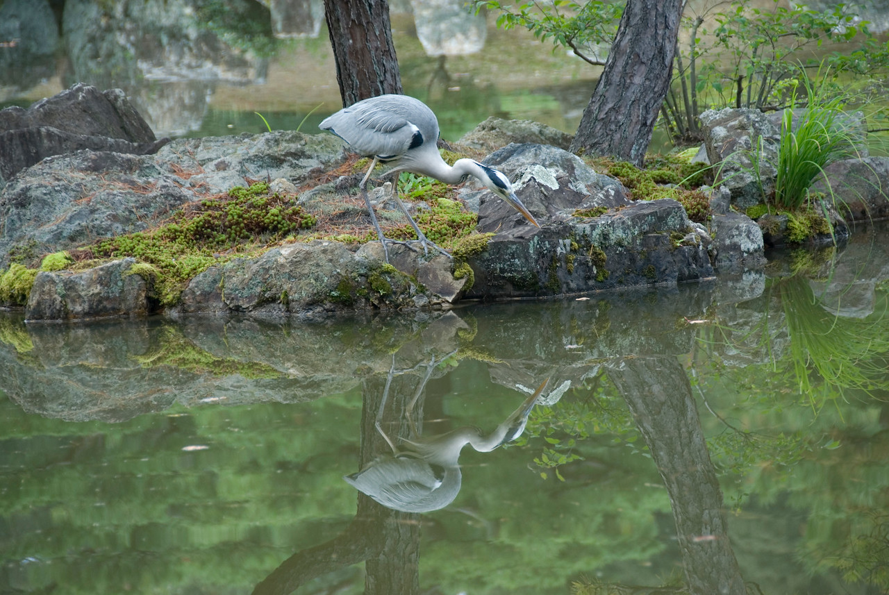 A bird spotted near Golden Pavilion in Kyoto, Japan