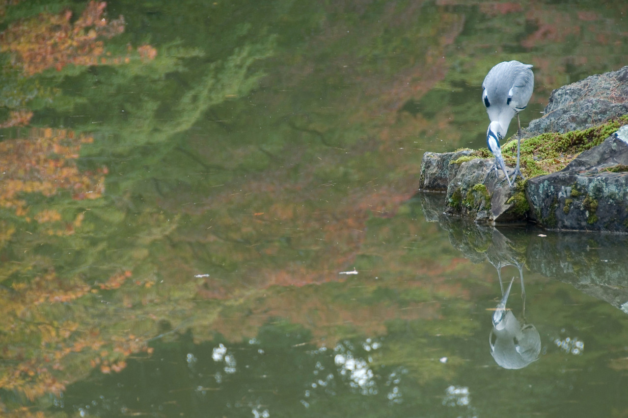 Solitary bird drinking water from a pond near the Golden Pavilion in Kyoto