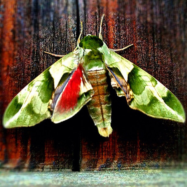 Japan even features beautifully designed moths - Kyoto, #Japan #dna2japan #gadv