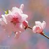 "Cherry blossom at <a target=""NEWWIN"" href=""http://en.wikipedia.org/wiki/Ry%C5%8Dan-ji"">Ryoan-ji</a> temple, Kyoto, Japan"
