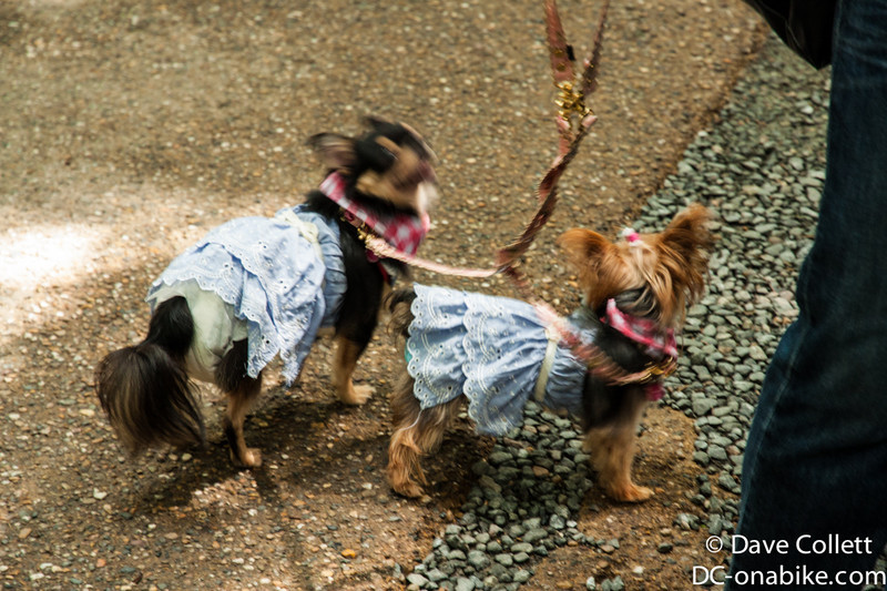 Yes, these are dogs, in nappies, wearing dresses…