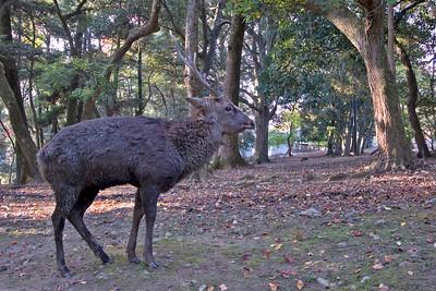 Solitary deer inside the park premises in Nara, Japan