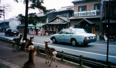 fall 1994 - Rather tame deer roam through the town of Nara, especially in Nara Park. There are snack vendors sell small biscuits for  feeding the deer. Some of the deer have learned to bow in response to tourists' bows. They nudge, jostle, and even bite for food.