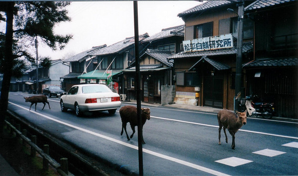 fall 1994 - Rather tame deer roam through the town of Nara, especially in Nara Park. There are snack vendors sell small biscuits for feeding the deer. Some of the deer have learned to bow in response to tourists' bows. They nudge, jostle, and even bite for food. edit