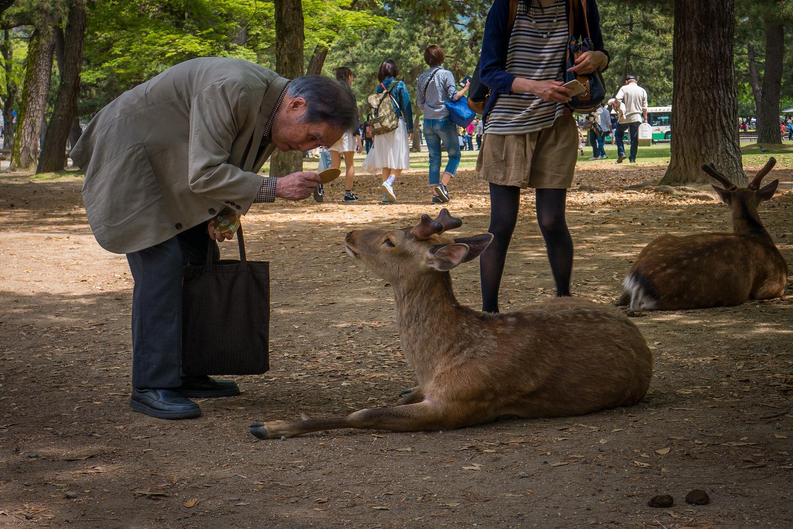 bowing deer Nara, japan