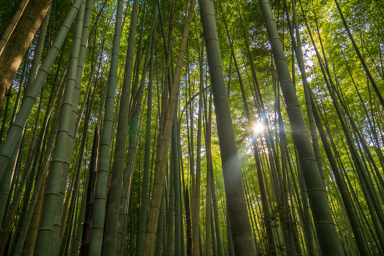 Arashiyama Bamboo Grove in the Arashiyama  District.