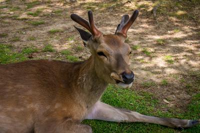 The bowing deer  in Nara, Japan.