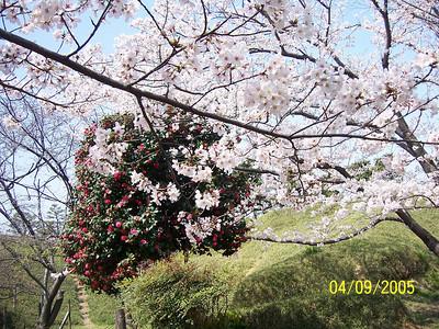 Spring blooms, Odaiba Marine Park area 2005