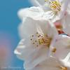 """Cherry blossom at <a target=""""NEWWIN"""" href=""""http://en.wikipedia.org/wiki/Mount_Yoshino"""">Mount Yoshino</a>, Yoshino, Japan"""