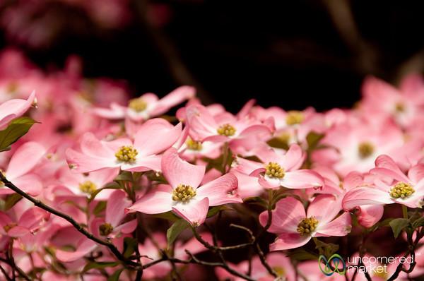 Pink Flowers in Takayama, Japan