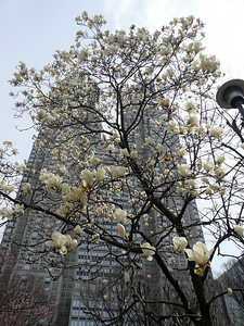 Cherry blossoms & Tokyo government twin towers, Shinjuku, March 2007 Tokyo Springtime.