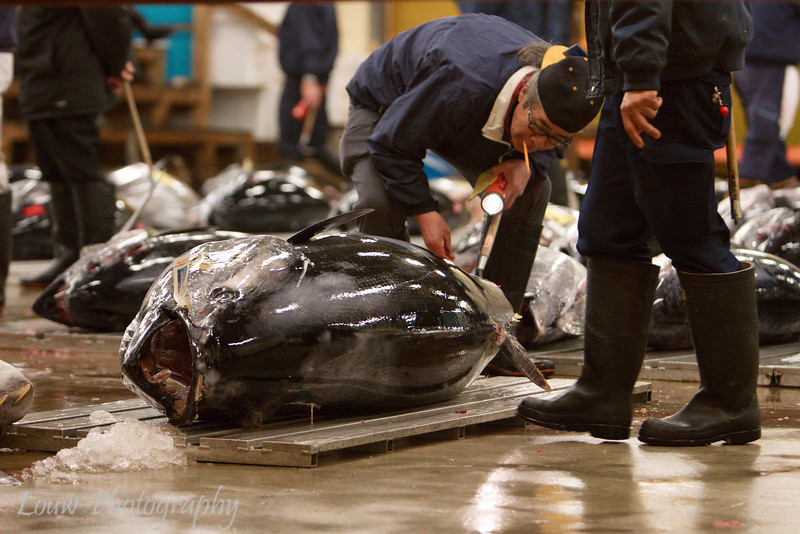 "Large tuna up for auction at <a target=""NEWWIN"" href=""http://en.wikipedia.org/wiki/Tsukiji_fish_market"">Tsukiji Fish Market</a>, Toyko, Japan"