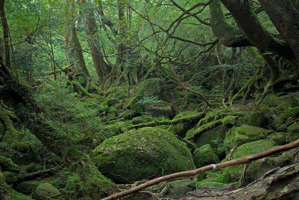 Princess Mononoke Grove, Yakushima, Japan