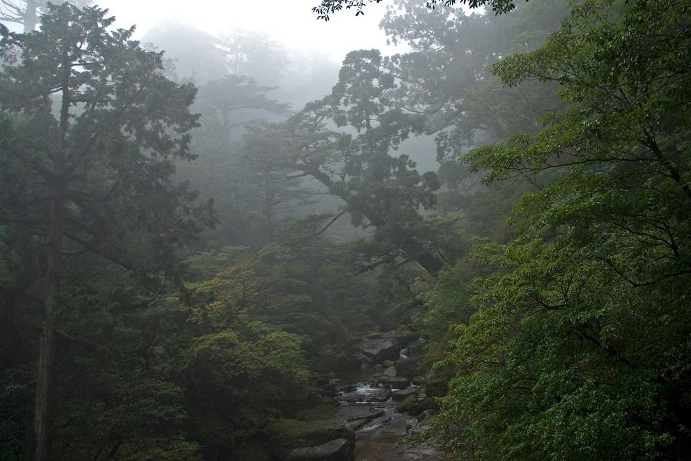 Yakusugi Cedar Grove, Yakushima, Japan