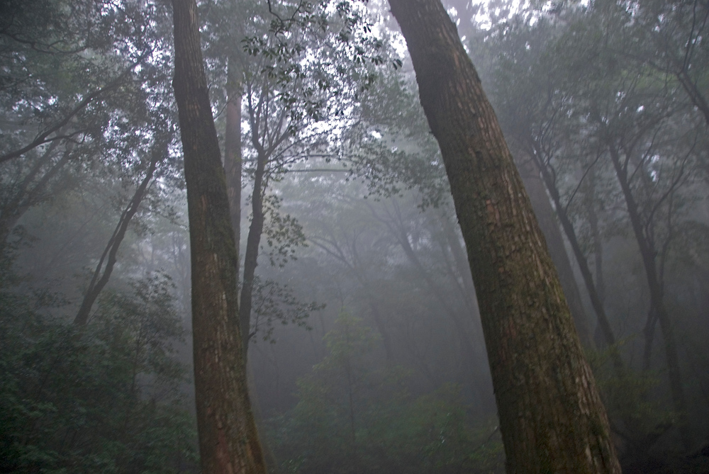 Cedar trees in the mist, Yakushima, Japan
