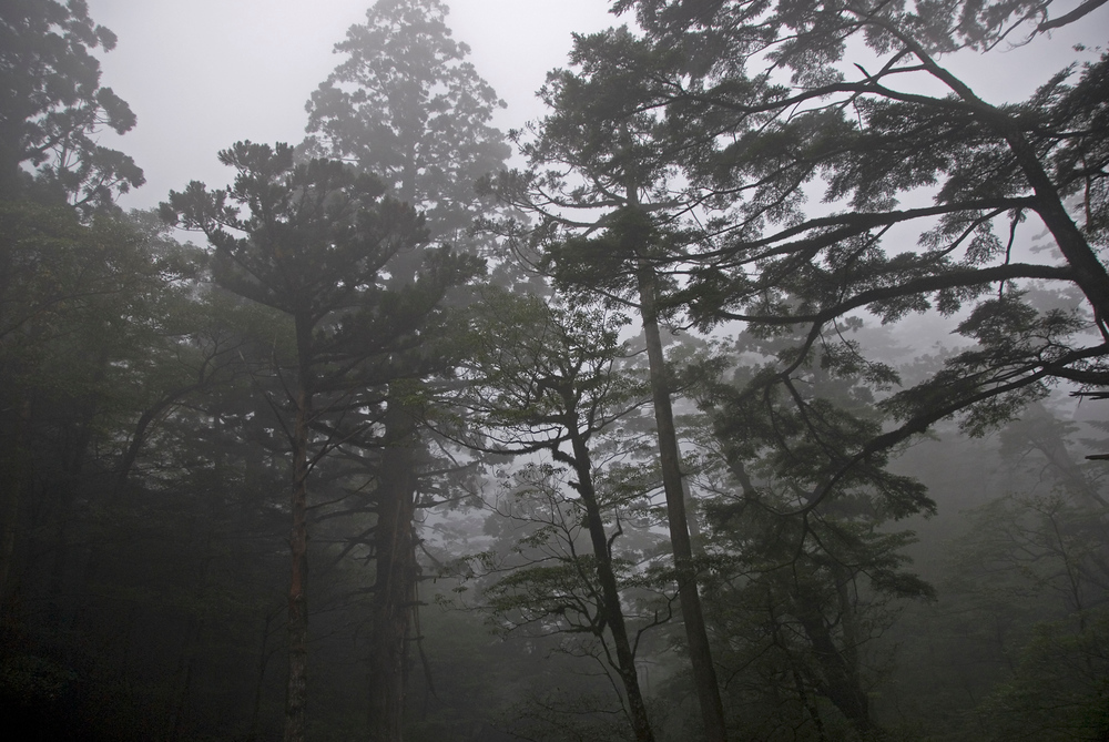 Cedar forest in the mist, Yakushima, Japan