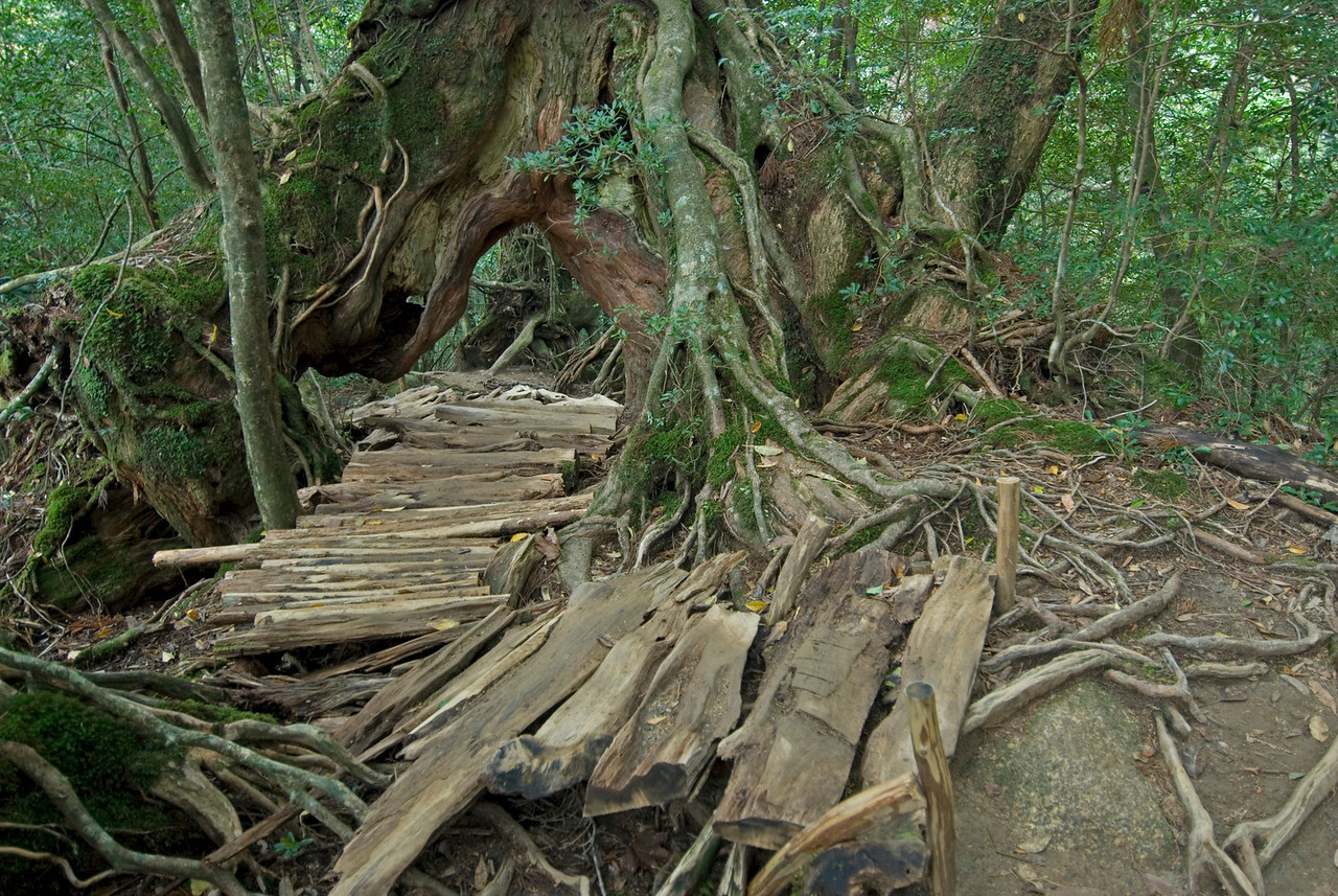 Chopped woods serving as pathwalk inShiratani Unsuikyo - Yakushima, Japan