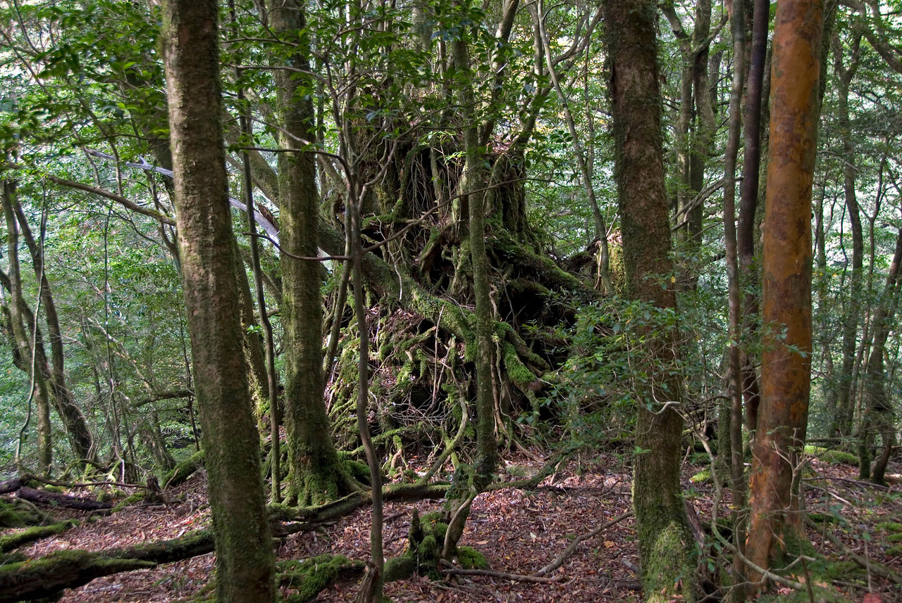 Twisted roots beneath a tree in Shiratani Unsuikyo in Yakushima, Japan