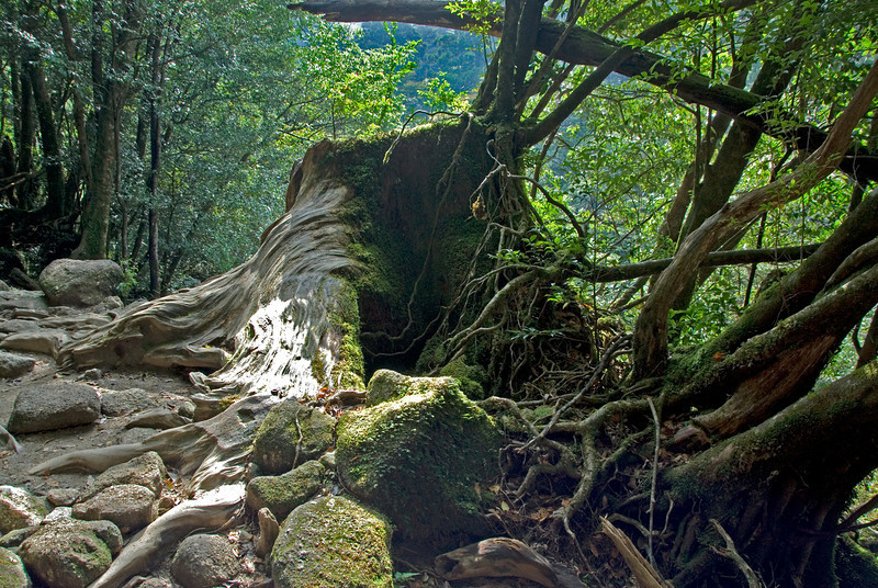 Roots crawling out from trees in Shiratani Unsuikyo in Yakushima, Japan