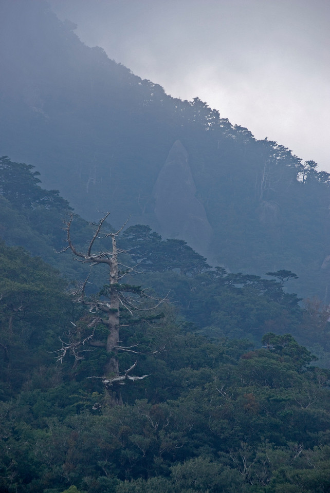 A tree sticking out from the forest canopy in Shiratani Unsuikyo in Yakushima, Japan