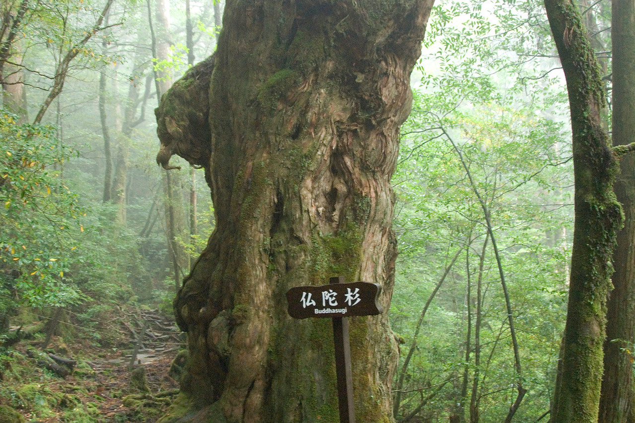 Buddhasugi sign under a large tree in Yakushima, Japan