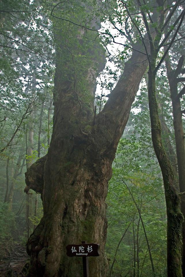 Huge tree bark covered with moss inside Shiratani Unsuikyo in Yakushima, Japan