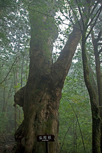 Huge tree bark covered with moss inside Shiratani Unsuikyo in Yakushima, Japan