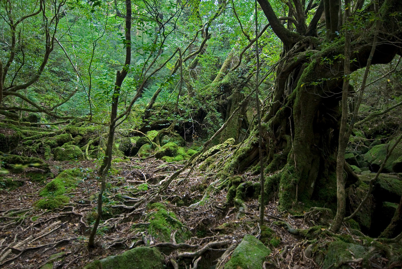 A shot of branches and barks in Shiratani Unsuikyo in Yakushia, Japan