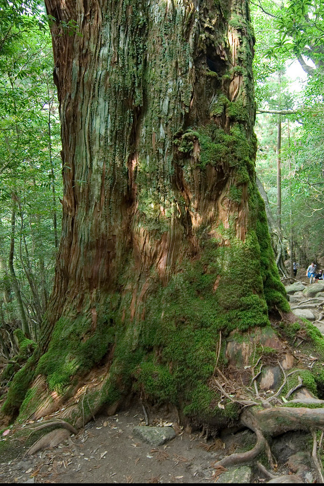 Large tree trunk covered with moss in Yakushima, Japan