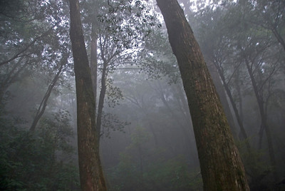 Fog covering the Yakusugi inside Shiratana Unsuikyo in Yakushima, Japan