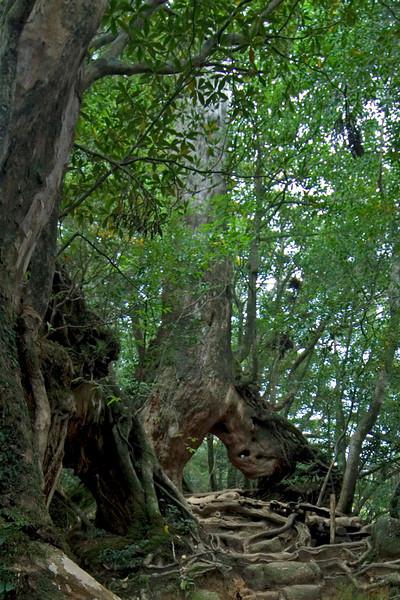 Large trunks along path in Shiratani Unsuikyo in Yakushima, Japan