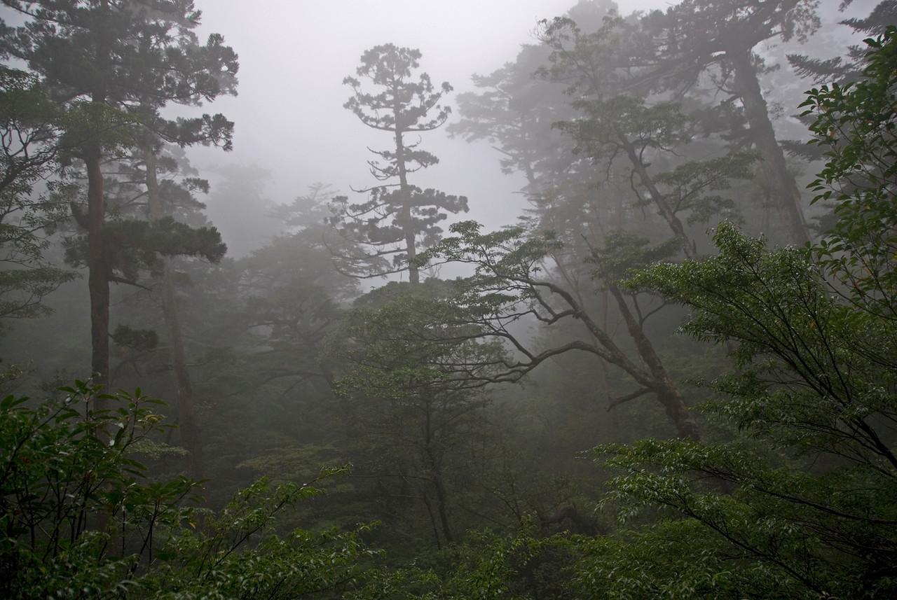 Foggy day at the Yakusugi Cedar Grove in Yakushima, Japan