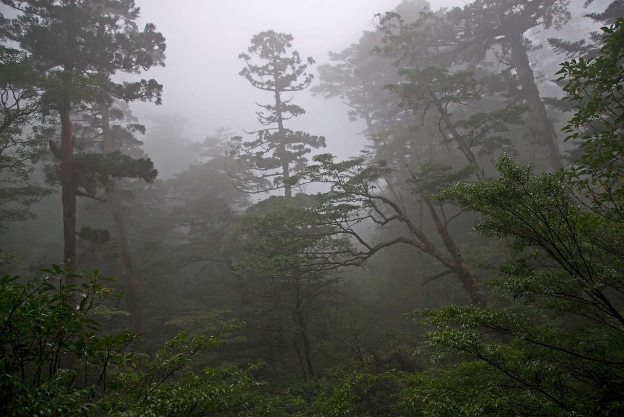 Foggy day at the Yakusugi Cedar Grove in Yakushima, Japan