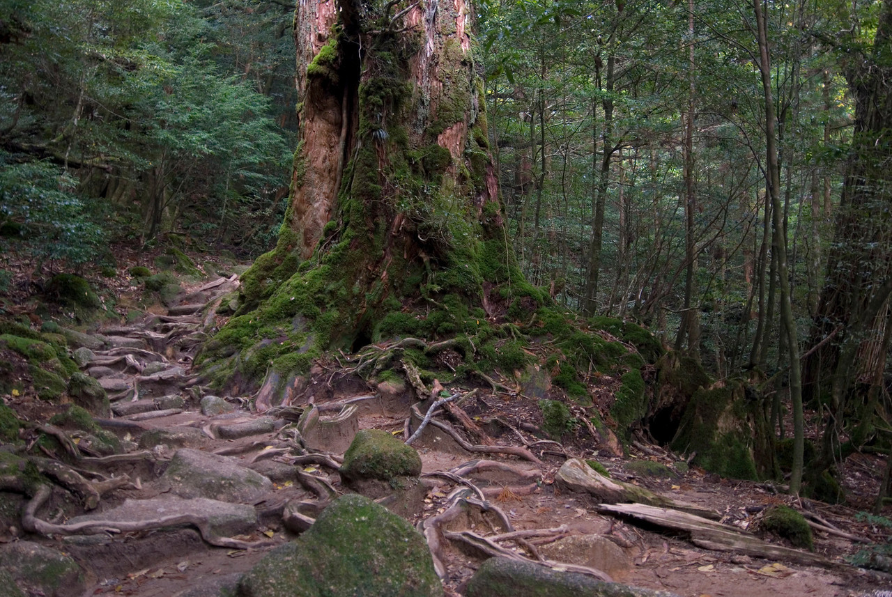 Rugged path along moss covered stones and tree trunks in Yakushima, Japan